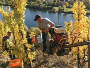 Dr. Loosen winery harvesting in Erdener Prälat vineyard