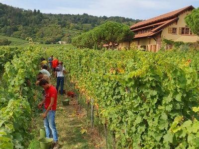 Riesling harvest in Wachenheimer Goldbächel vineyard