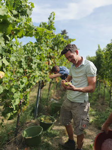 Villa Wolf head winemaker, Patrick Möllendorf, inspecting beautifully ripe Riesling fruit during the 2020 harvest.