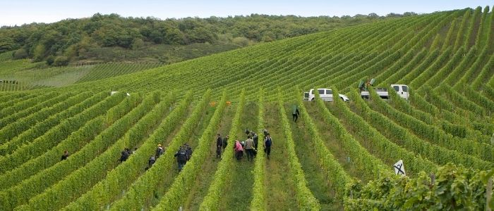 Dr. Loosen harvest at Bernkasteler Lay vineyard
