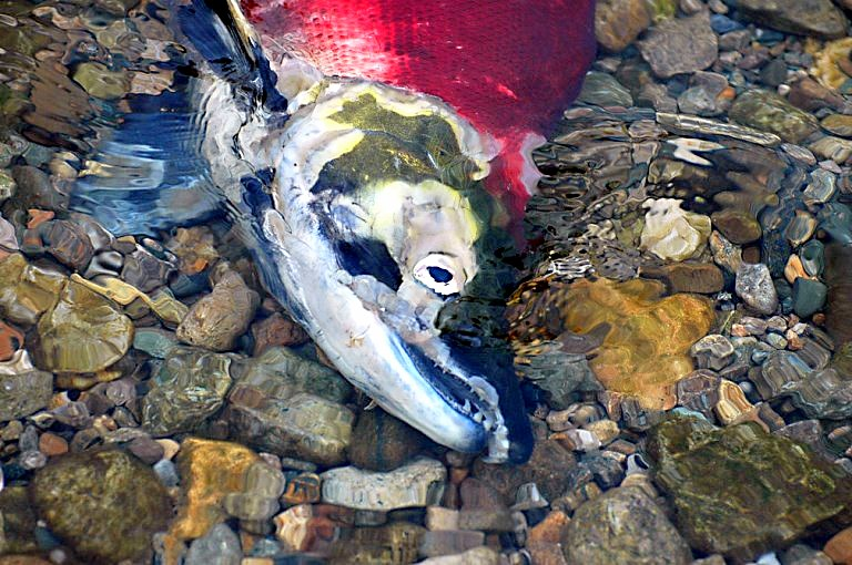 pacific salmon dying after spawning