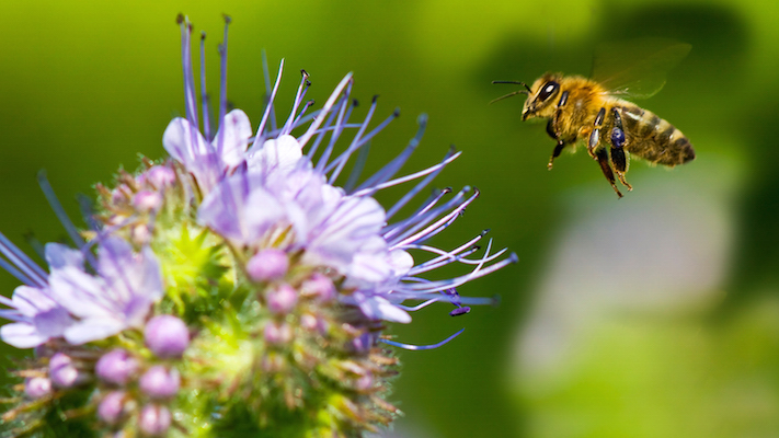 honeybee-purple-flower.