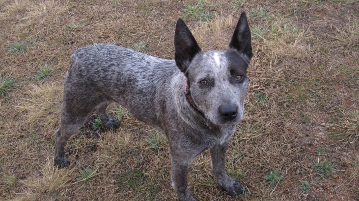 Rose.  ASTCD blue female. 1 YO. Michelago NSW ADOPTED