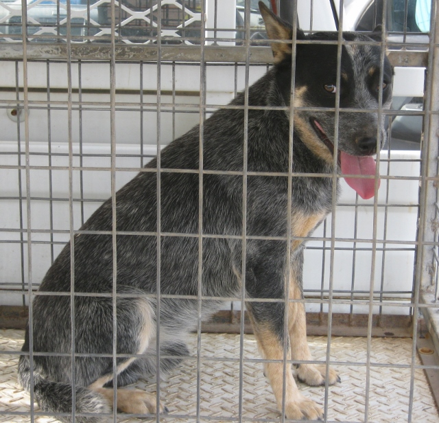 Two young ACD Males from Same home, one Red, one Blue, Canberra Area (ADOPTION)