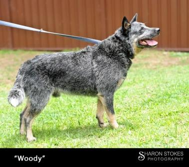 Woody, 4-5 years, blue ACD Male, Michelago NSW (ON HOLD)