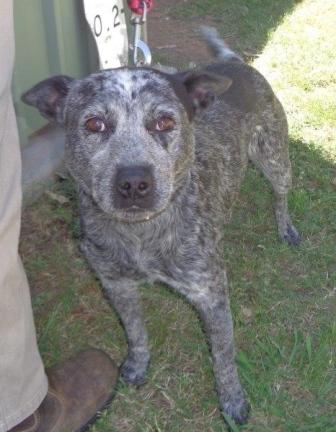 Harry 3YO blue Male Cattle Dog mix – ADOPTED.