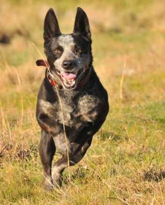 SOX, Male ACD x, Approx , 6 years –  ADOPTED