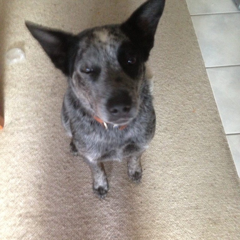 REUBEN, male ACD x, 2 years approx. ADOPTED BY HIS CARER