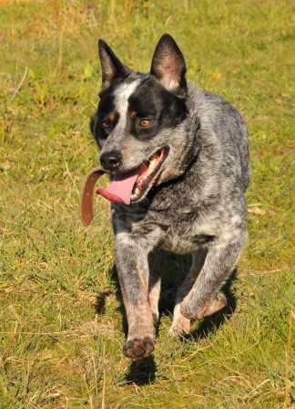 JACK, lovely young Blue Male ACD – ADOPTED
