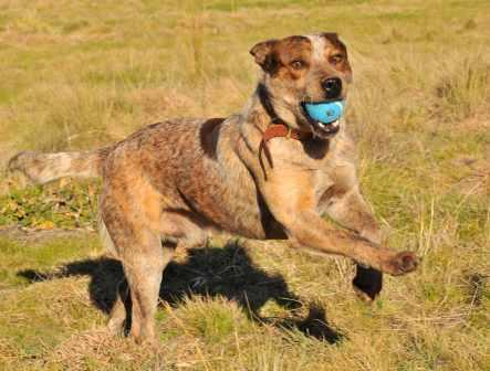 BANDIT – Red ACD x, 1-2 years – ADOPTED
