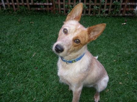 JASPER, Australian Cattle Dog male, 12 months (approx) ADOPTED by his carer
