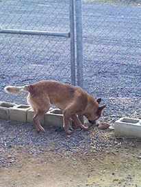 KEVIN, Red ACD Male, 2YO Approx – ADOPED