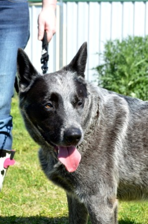 REX – Male, Blue Cattle Dog (x), Approx 5-6 – ADOPTED