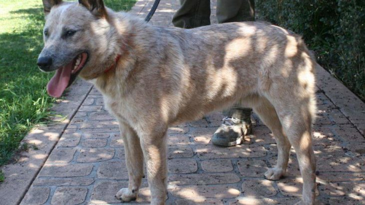 TINNY – Red Male ASTCD, 2-3 Years – ADOPTED