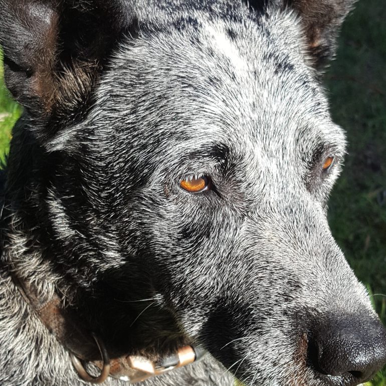 ADOPTED – Jake the Stumpy Tail Cattle Dog