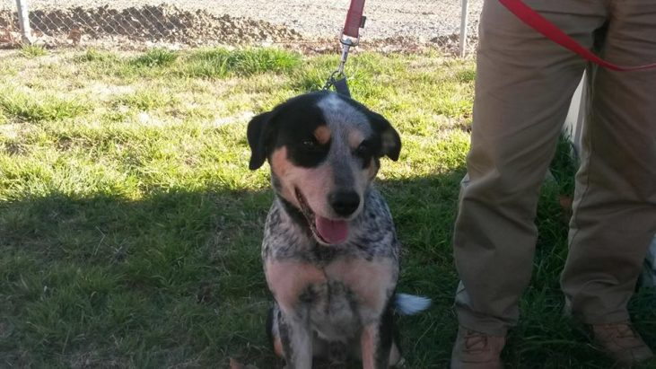 ADOPTED – ASH – Male ACD x, 3YO, Yass Valley Animal Shelter NSW