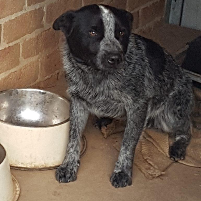 BANJO (2) -1YO Blue ASTCD male, Carwoola NSW (near Queanbeyan)
