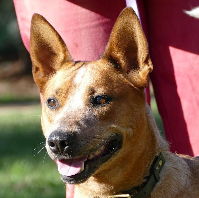 Ellie – Young, Red Female ACD (x), Canberra/Queanbeyan area – Adores her people, but best in an only dog home.