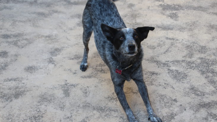 BANJO – Male Blue ACD mix – Approx 10 yo, lovely companion – NSW/ACT – ADOPTED