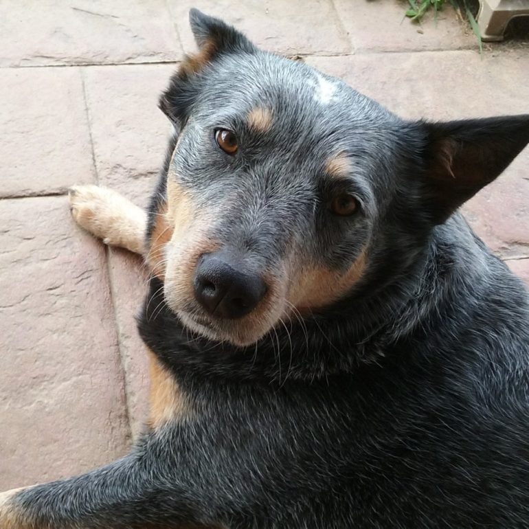 Blue (Male ACD,13 Yrs) & Sophie (Female ACD, 3 years) – Wamboin NSW (near Canberra) – ADOPTED
