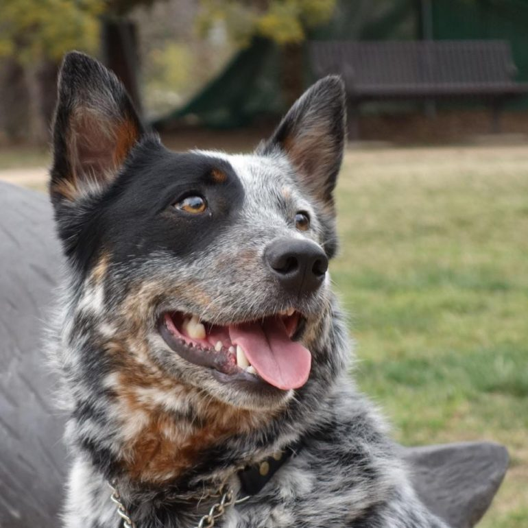 ADOPTED – Chip, Young Blue Male ACD – Canberra ACT (Due Wed 19/9)