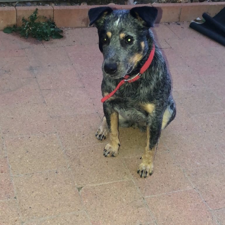 SHADOW – Blue Female ACD – Canberra ACT