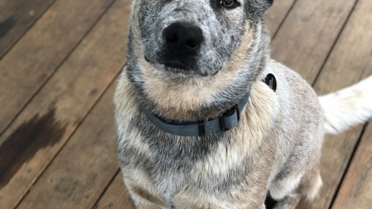 Rocco – Cattle dog Male 9 months old Nowra NSW