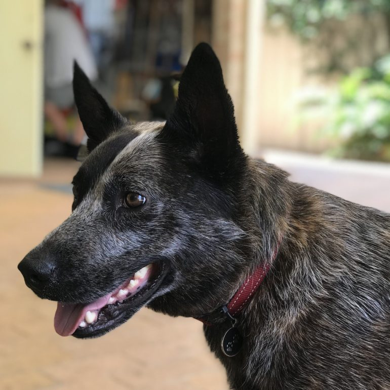 Leroy, 3yrs old, Blue Cattle Dog X, Male, Forster NSW