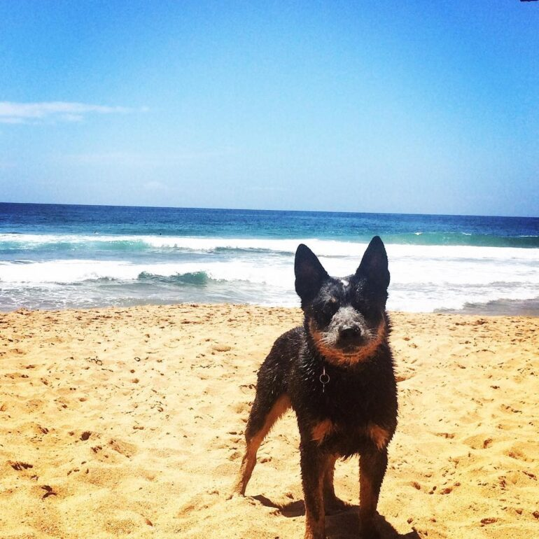 Parko, Blue, 4 years old, Male, Gold Coast QLD