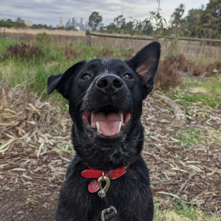 Ned, Blue Stumpy Tail Cattle Dog X, 9 months old, Ocean Grove VIC