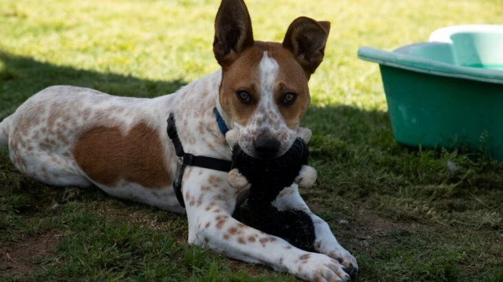 Leo, Cattle Dog X Jack Russell, Kemps Creek NSW