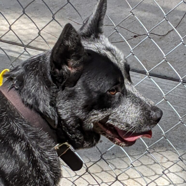 **ADOPTED** Bruh – Australian Stumpy Tail Cattle Dog – Stunning Blue Male, 3yo, Desexed, Canberra area