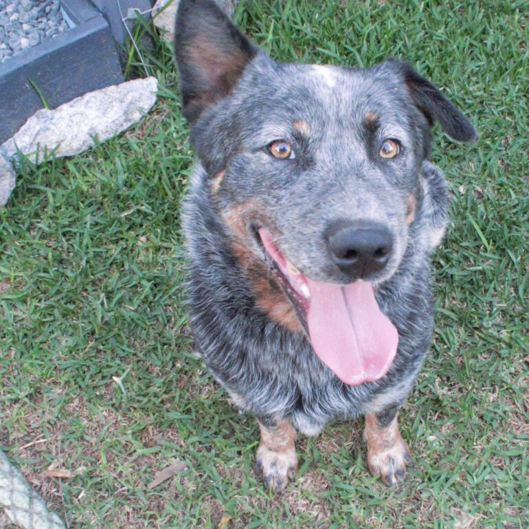 Digga, Blue Cattle Dog, Male, 2 years old, Forester, NSW