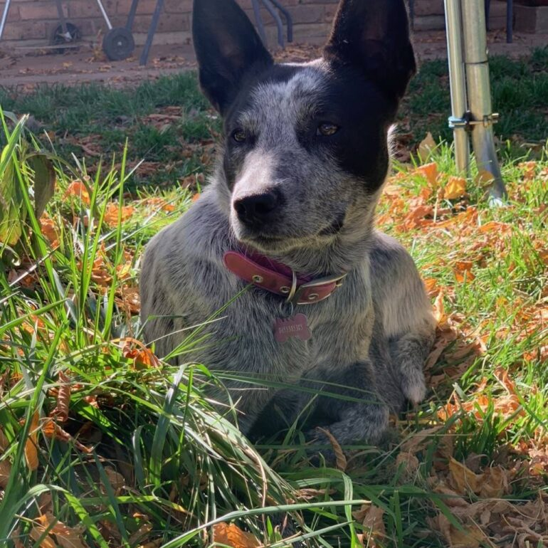 **ADOPTED**Sasha – Young Female ACD – Queanbeyan Pound, NSW (near Canberra)