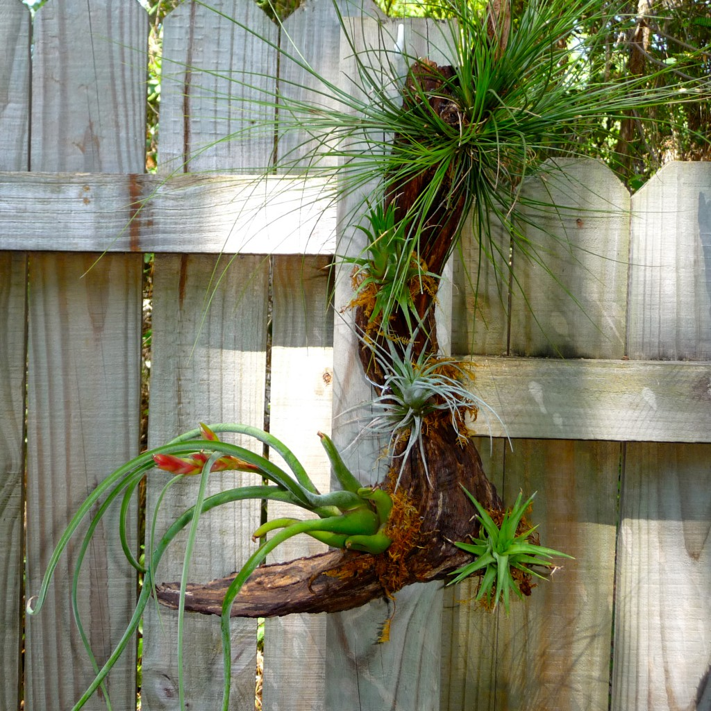 Air Plant Mounted on Wood