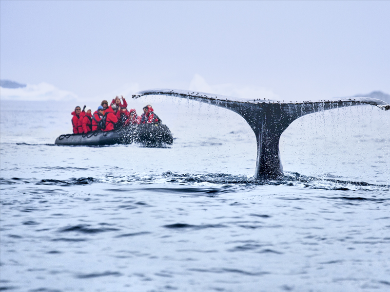 Whale watching from a Zodiac in Antarctica with Silversea Cruises, with tale of whale out of water..