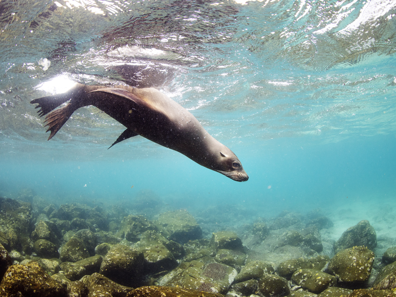 Sea Lion seen from below water while Snorkeling North Seymour, Galapagos Islands