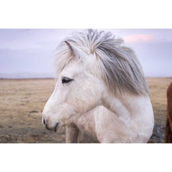 portrait of a white icelandic horse outdoors