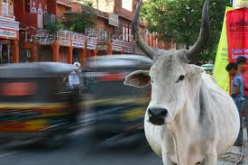 Cows on the streets in India