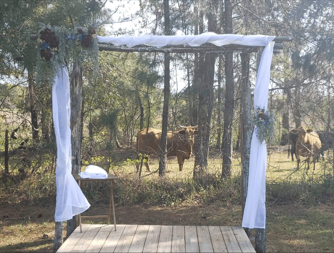 Cows looking at the wedding site