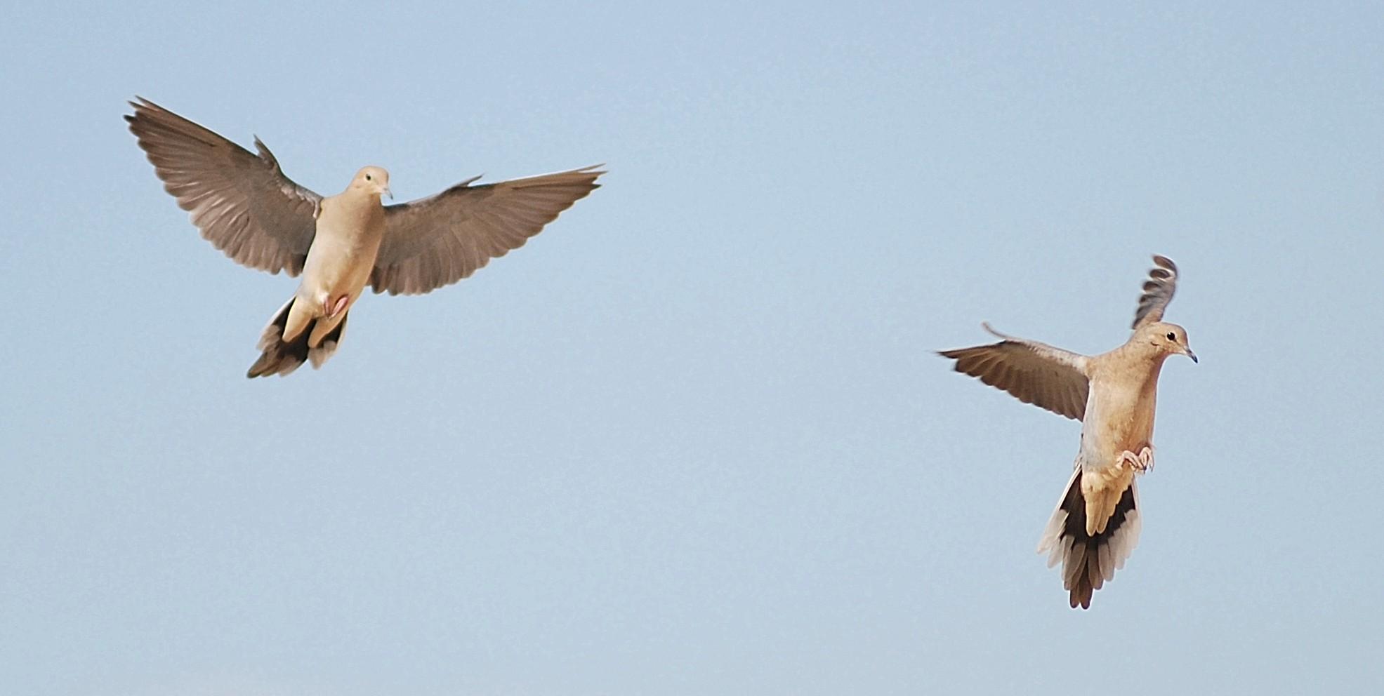 Dove Hunting Weekday