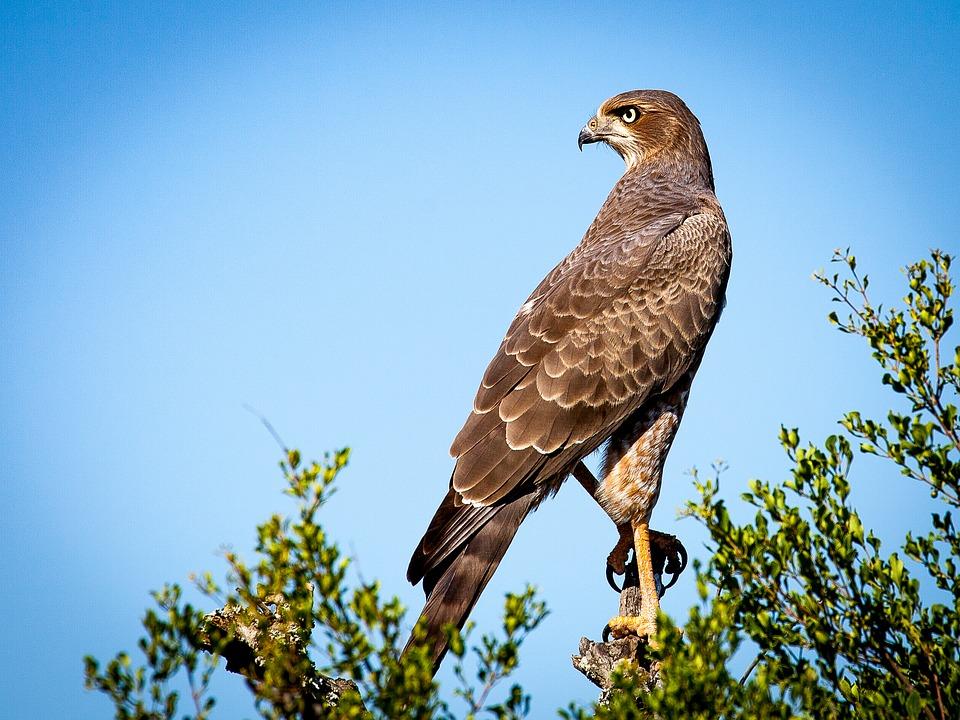 Falcon totem