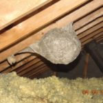 Wasps in the attic