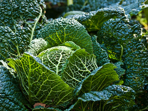 Look how pretty cabbage is growing in the garden.