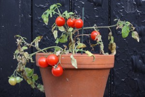 tomatoes in a pot