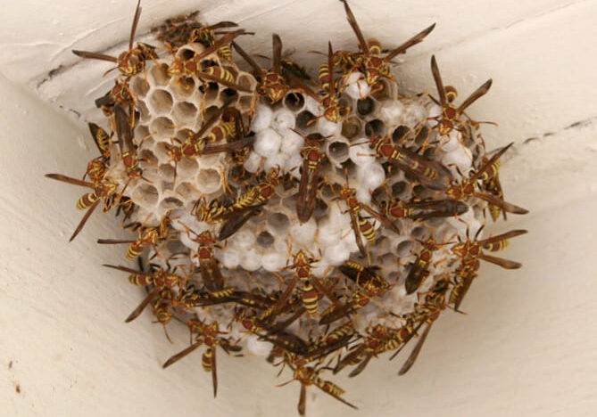 Wasps/Hornets