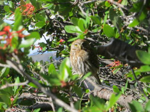 A baseball-sized Patagonia owl sitting in a bush.