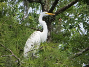 Spot a great white heron during the airboat ride