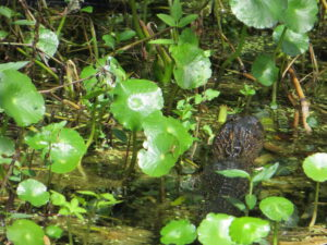 Airboat ride: did you spot the gator?