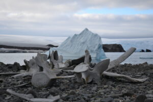 Penguin Island (in the South Shetland Islands chain) is dotted with giant whale skeletons left by whalers from long ago. There are large colonies of chinstrap and gentoo penguins. Antarctic Kayaking